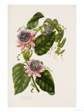 Passion Flowers, circa 1796-1799 Posters by Mary Lawrence