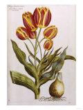Tulips, 17th Century Premium Giclee Print