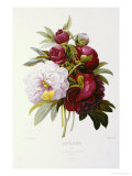 Peonies Posters by Pierre-Joseph Redouté