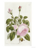 Illustration from the Botanical Register, 1799-1865 Giclee Print by John Lindley