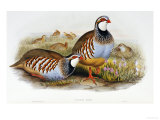 Red Legged Partridges (Caccabis Rubra) Posters by John Gould