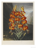 The Superb Lily Giclee Print by Robert John Thornton
