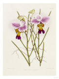 The Orchid Album Plate 475 Kunstdruck