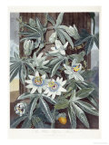 Passion Flowers Print by Robert John Thornton