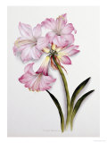 Amaryllis Belladonna, circa 1910 Giclee Print by Ethel May Dixie