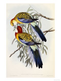 Eastern Rosella (Platycercus Eximius), First Edition, 1840-1869 Art by John Gould