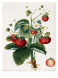 Keen's Strawberry Seedling Giclée-Druck