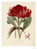 A Specimen of the Botany of New Holland Posters by James Edward Smith