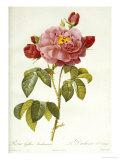 Les Duchess d'Orleans Rose Giclee Print by Pierre-Joseph Redouté