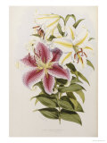 A Monograph of the Genus Lilium, Late 19th Century Kunstdrucke von Henry John Elwes