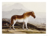 "The Quakah, Aquatint from ""African Scenery and Animals"" Giclee Print by Samuel Daniell"