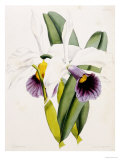 Lily Print by William Curtis