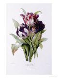 Tulipes Posters par Pierre-Joseph Redouté