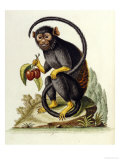 A Little Black Monkey Brought from the West Indies by Commodore Fitzroy Lee Reproduction procédé giclée par George Edwards