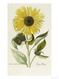 Hand Coloured Engraving of a Sunflower Giclée-Druck von George Wolfgang Knorr