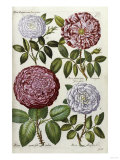 Roses, 17th Century Giclee Print