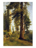 California Redwoods Poster by Albert Bierstadt