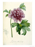 Hand Colored Engraving of a Peony, 1812-1814 Giclee Print by Pierre-Joseph Redouté