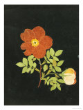 Cut Out Watercolour of a Flower, circa 1783 Giclee Print by Margaret Nash
