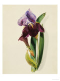 A Flag Iris Giclee Print by Thomas Holland