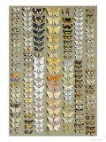 One Hundred and Fifty-eight Medium and Small-sized Moths in Seven Columns Giclee Print by Marian Ellis Rowan
