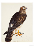 Falco Pygargus, Hen-Harrier, Fem Giclee Print by Christopher Atkinson