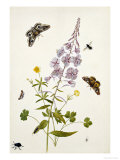 Rosebay Willowherb and Buttercups with Butterflies Giclee Print by Thomas Robins Jr