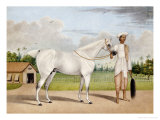 A Small White Stallion Standing with a Groom Holding a Chauri Giclee Print by Shaikh Muhammad Amir Of Karraya