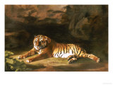 Portrait of the Royal Tiger, circa 1770 Prints by George Stubbs
