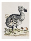 The Dodo Giclee Print by Frederick P. Nodder