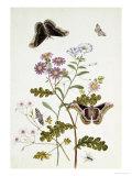 Convolvulus and Chrysanthemum Giclée-Druck von Thomas Robins Jr