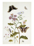 Convolvulus and Chrysanthemum Giclee Print by Thomas Robins Jr