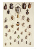 Thirty-Four Insects, Laid Out in a Semi-Circular Array Mostly of the Order Coleoptera (Beetle) Giclee Print by Marian Ellis Rowan
