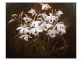 Dinrobium Orchids Giclee Print by James Stuart Park