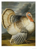 A Turkey in a Landsape Giclee Print by Peter Wenceslaus