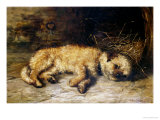 A Border Terrier Puppy Giclee Print by Philip Eustace Stretton
