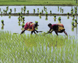 Paddy Fields of Tamil Nadu Affiches par Olivier F&#246;llmi