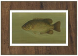 Rock Bass Posters by  Harris