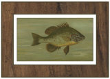 Common Sunfish Prints by Harris 