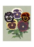 Tricolor Pansies II Print