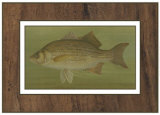 White or Silver Bass Posters by  Harris