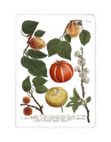 Weinmann Fruits IV Posters by Weimann