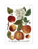 Weinmann Fruits I Prints by  Weimann