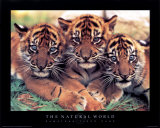 Tiger Cubs Prints