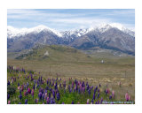 Lupins and Mountains Photographic Print by Maggi Carstairs