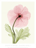 Iceland Poppy I Affiches par Steven N. Meyers