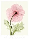 Steven N. Meyers - Iceland Poppy I Obrazy