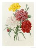 Carnation, circa 1833, Art Print, Pierre-Joseph Redoute