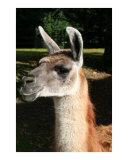 Llama Photographic Print by PAT CAHILL GRANT