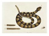 Viper Caudison Snake (Rattlesnake) Giclee Print by Mark Catesby
